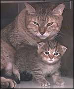The African wildcat is the smallest of the exotic cats