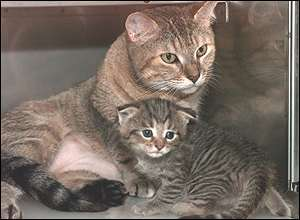 The wildcat kitten was born from an implanted embryo