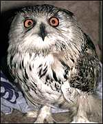 Boris the owl