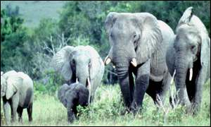 Kenya opposes a limited lifting of the ivory ban
