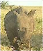 [ image: Rhino horn is highly valued]