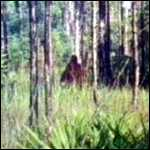 [ image: Possible photo of the Skunk Ape]