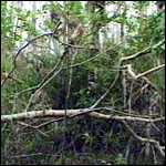 [ image: The Everglades: is the Skunk Ape hidden behind the foliage?]