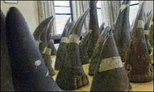 image: [ Some of the rhino horns in Wilfred Bull's collection ]