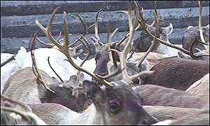 Lapland is the traditional herding ground of reindeer