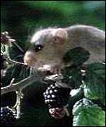 dormouse on twig