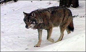 Will the Swedish wolf survivie?b