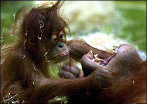 orang-utan and infant