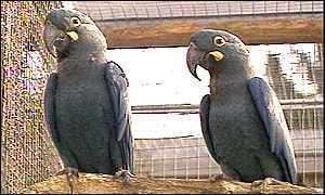 Lears macaws