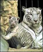 tiger cub and adult