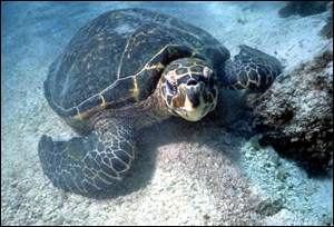 hawksbill turtle on seabed