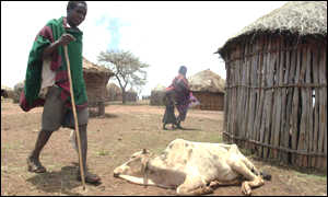 Man with dying cow