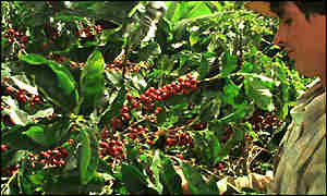 Coffe grower in Costa Rica