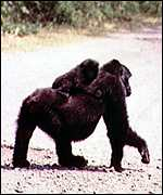 gorilla and child cross road