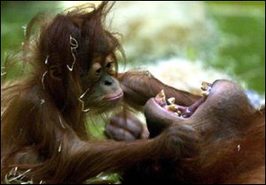 orang infant and parent