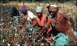 Cotton farmers in Zimbabwe
