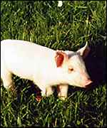young pig in field