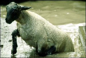 sheep emerges from dip