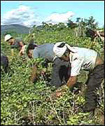 Bolivia coca growers