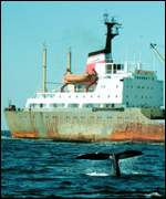 whale dives as ship passes