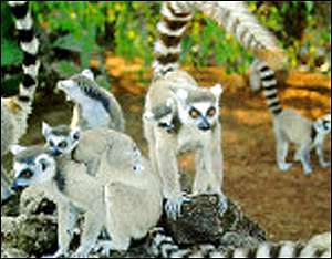 lemurs in a group