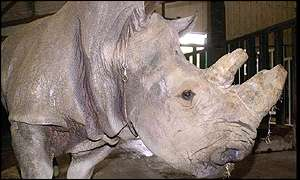 Thelma the injured rhino