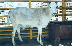 Photo of half-sheep, half-goat hybrid