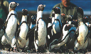 Penguins being led away from Dassen Island