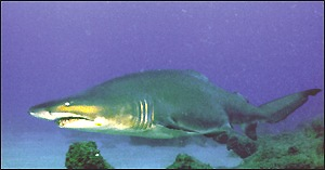 finned shark below surface