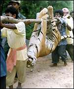 Dead tiger in Orissa zoo