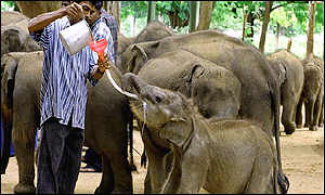 Elephant being fed