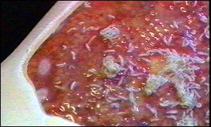 Maggots on lab mock-up of infection