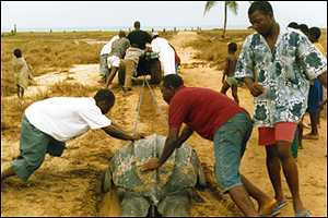 volunteers pulling a turtle to safety