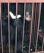 Caged: Life for bears is 'absolutely horrific