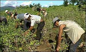 Cocaine pickers in Colombia