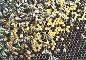 Bees (IACR-Rothamsted)