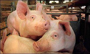 A York pig farm