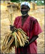 farmer with millet stalks