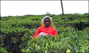 Tea plantation worker