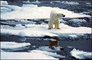 bear on ice floe