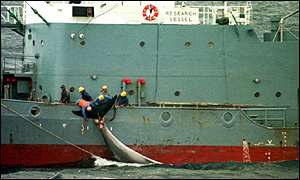 A minke whale harpooned by a Japanese ship