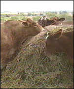 Dusty cattle eating hay