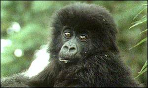 Endangered Rwandan mountain gorilla