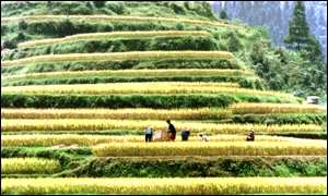 Rice farmers China AP