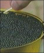 Osetra caviar in the Astrakhan market