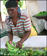 Sorting bananas on Jamaica
