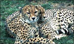 Cheetah pair BBC