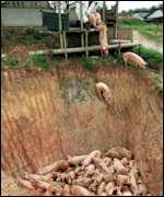 pigs being thrown into pit