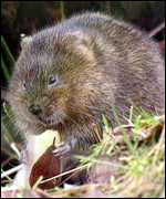 watervole feeding