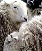 [ image: Genetically-altered sheep can offer benefits to humans]
